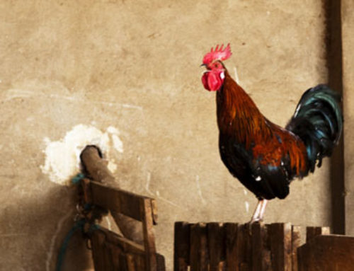 Supernaturally Speaking: Chicken Superstitions